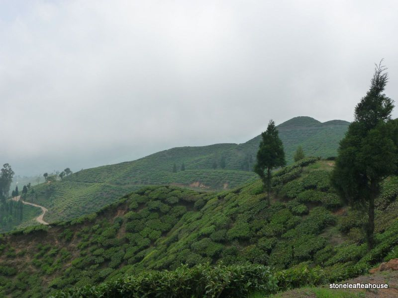 Darjeeling fields